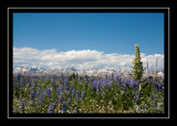 A solitary monument plant amidst the lupines