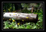 Leafy arnica on the trail