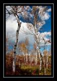 Birches in Sam's Point Preserve