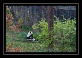 Panda bear busy eating