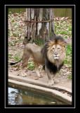 Stately lion