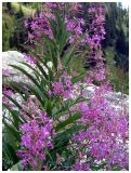 Fireweed Perhaps