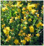 St. JohnWort in Hanging Canyon