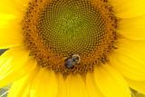 Sunflower & the bee