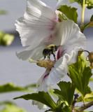 Bumblebee on the Hibiscus