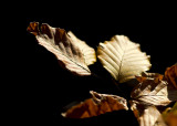 Beech Leaves In Sunshine