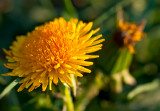 Time Of Dandelions
