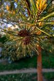 Pinecones In Love In Sunshine