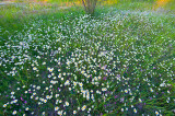 Daisies And Clovers