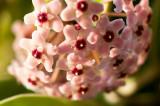 My Hoya Blooming