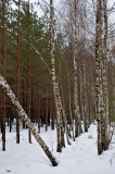 Birches And Pines