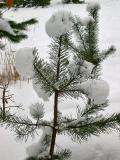 Snow On This Little Tree