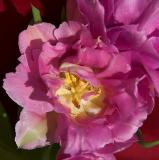 Tulip In Full Bloom