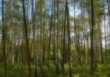 Afternoon In A Birch Forest