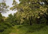 Pathway Under Acacia Trees