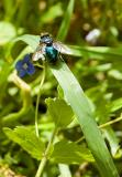 Green Fly On A Green Grass