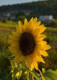 Sunflower's Side-face