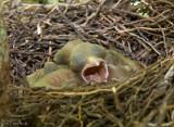 Yawning Baby Bluejay