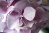 Hydrangea @f2.8 5D