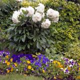 White peony in my garden