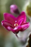 African violet @f2.5 D700