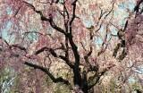 Cherry blossom in Nijō-catsle Kyoto