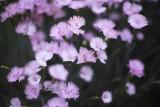 Carnation @f1.2 5D