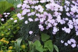 Carnation 5D