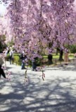 Weeping cherry blossom in Nijō-castle in Kyoto