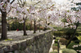 Cherry blossom @f1.4 in Chion-in