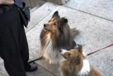 Two Shelties 5D