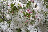 Apple flowers @f8 KDN