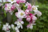 Apple flowers @f5.6 KDN