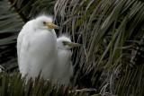 birds_egretchicks