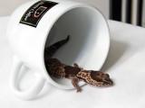 gecko spill