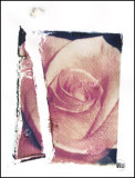 Rose Transfer