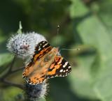 DSC_4486 Tidsel sommerfugl
