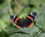 DSC_4389 Sommerfugl Orange(Admiral)