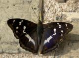 DSC_7381 Apatura iris