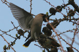Waxwings - part of a group of 57 feeding on conifer buds.