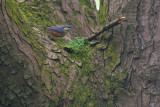 Nuthatch - male (record shot)