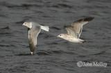 Common Gull - 1st winter & 2nd winter