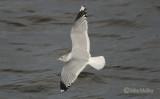 Common Gull - adult