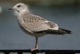 Common Gull - juvenile