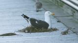 Lesser Black-backed Gull - female on nest