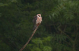 Red-footed Falcon - 1st summer female