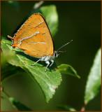 Brown Hairstreak, Eldsnabbvinge (Thecla betulae)