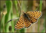 Glanville Fritillary, Ängsnätfjäril   (Melitaea cinxia).jpg