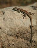 Phoenicolacerta troodos.jpg