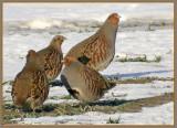 Grey partridge, Rapphöns   (Perdix perdix).jpg